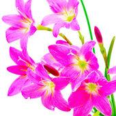 Rain Lily — Stock Photo