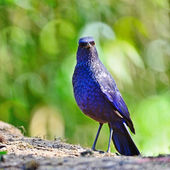 Blue Whistling-Thrush — Stock Photo