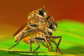 Robber fly — Stock Photo