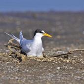 Little Tern — Stock Photo