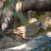 Spot-breasted Laughingthrush — Stock Photo