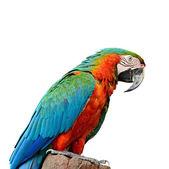 Harlequin Macaw — Stock Photo
