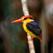 Black-backed Kingfisher — Stock Photo