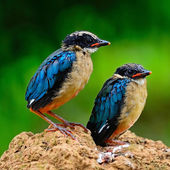Juvenile Blue-winged Pitta — 图库照片