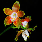 Phalaenopsis venosa — Photo