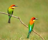 板栗为首的蜂鸟 — 图库照片