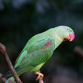 Female Alexandrine Parakeet — Stock Photo