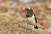 Asian Pied Starling — Stock Photo