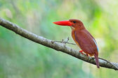 Female Ruddy Kingfisher — Stock Photo