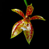 Phalaenopsis cornu-cervi — Stockfoto