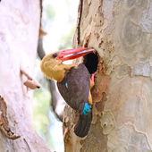 男性の翼のブラウンのカワセミ — ストック写真