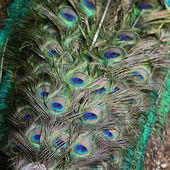 Green Peafowl feather — Stock Photo