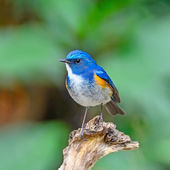 Himalayan Bluetail — Stock Photo