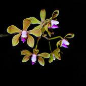 Phalaenopsis stobartiana — Stockfoto