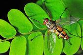 Macro fly portrait — Stock Photo