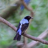 Male Asian Fairy Bluebird — Zdjęcie stockowe