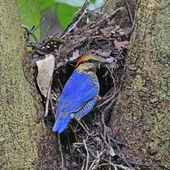 Male Blue Pitta — Stock Photo