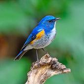Himalayan Bluetail — 图库照片