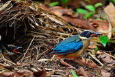 Juvenile Blue-winged Pitta — Стоковое фото