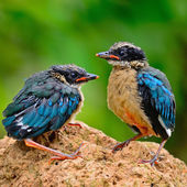 Juvenile Blue-winged Pitta — ストック写真