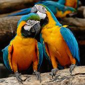 Guacamayo azul y oro — Foto de Stock