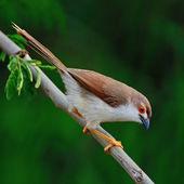Yellow-eyed Babbler — Stock Photo