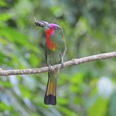 Male Red-bearded Bee-eater — Stock Photo