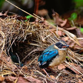 Juvenile Blue-winged Pitta — Stok fotoğraf