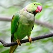Stock Photo: Male Alexandrine Parakeet
