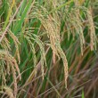 Rice paddy — Stock Photo #41682027