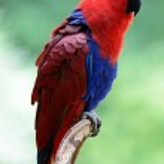 Papagaio-ecletus — Foto Stock