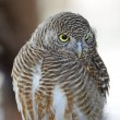 Stock Photo: AsiBarred Owlet