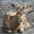 Spotted deer — Stock Photo #41684105