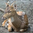 Spotted deer — Stock Photo #41684611