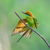 żołna mała zielona — Zdjęcie stockowe