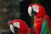 Greenwinged Macaw — Foto de Stock