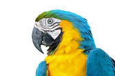 Blue and Glod Macaw isolated — Стоковое фото