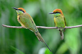 Little Green Bee-eater — Stock Photo