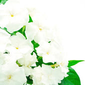 Crepe Jasmine — Stock Photo