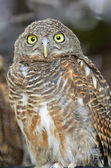 Asian Barred Owlet — Stock Photo