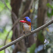 Male Banded Kingfisher — Stock Photo