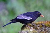 Melro-preto macho-de-asa-cinza — Fotografia Stock