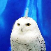 雪鸮 — 图库照片