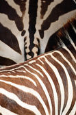 Common Zebra skin — Stock Photo