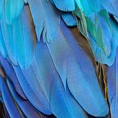Blått och guld ara fjädrar — Stockfoto