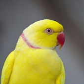 Yellow Indian Ring-necked Parakeet — Stock Photo
