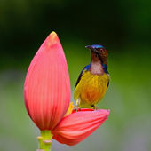 Male Brown-throated Sunbird — Stock Photo