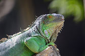Female Green Iguana — Stockfoto