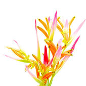 Heliconia Sassy — Stock Photo