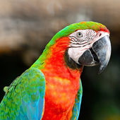 Harlequin Macaw — Stock Photo